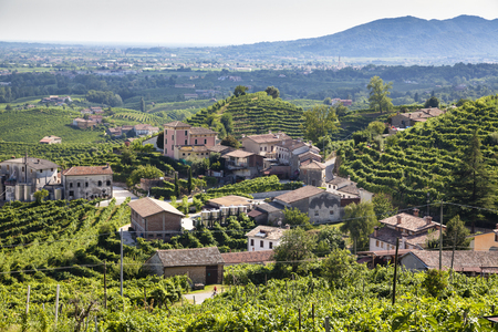 Vineyard with green and yellow leaves in sunny Valdobiaddene, Italy. Agricultural nature for Prosecco winerys