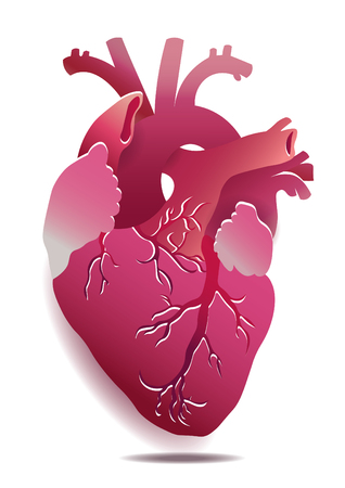 ventricle: Vector Isolated Realistic Heart Illustration On White Background. Illustration