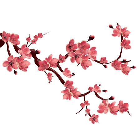 pink cherry: Branch of rose blossoming sakura . Japanese cherry tree. Vector Isolated Illustration on white background