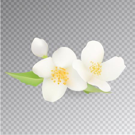 Icono de la flor del jazmín realista. Aislado en el fondo transparente. Clip-arte.