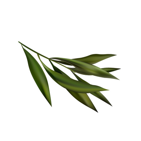 macro leaf: Tea Tree Realistic Branch Icon.  Object Isolated On White Background Illustration