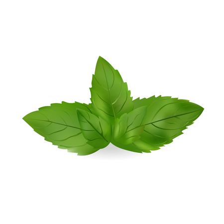 Mint Leaves Vector Illustration. Realistic icon Isolated On White Background