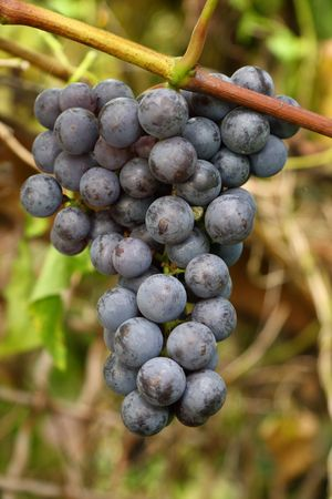 Hanging blue grapes ready for harvest,