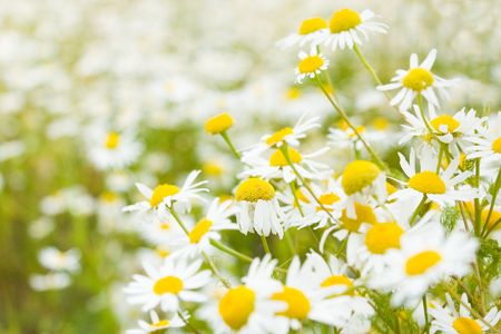 Lots on daisy on a field in bright spring day