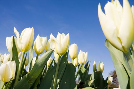 Beautiful white tulips over blue sky in sunny day. photo