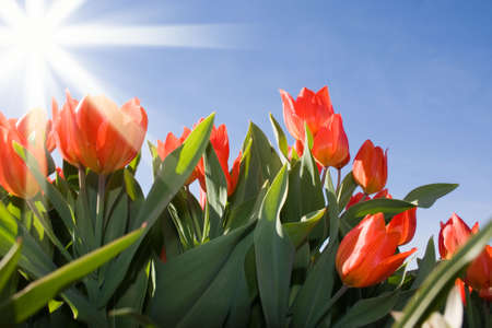 Beautiful red tulips and ray of light in sunny day photo