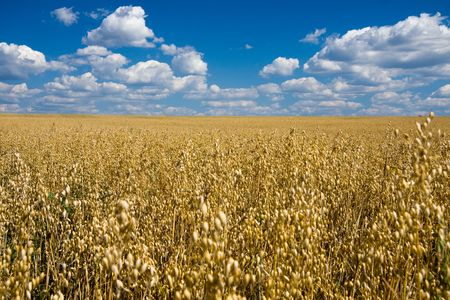 Golden oat field and blue sky with fluffy clouds photo