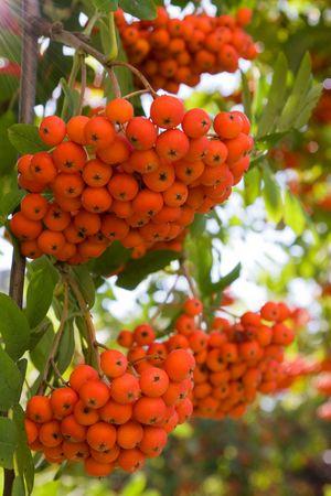 Bright rowan berries on a tree  photo