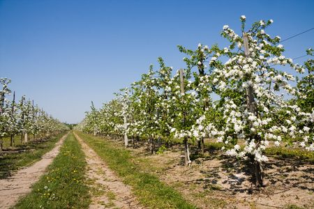 Rural path in blossoming apple orchard. Springtime. photo