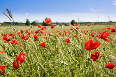 Summer landscape with wheat field and poppies flowers Stock Photo - 7232992