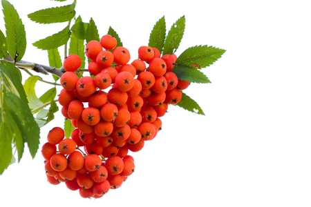 Bright rowan berries on a tree isolated on white background Stock Photo - 7448191