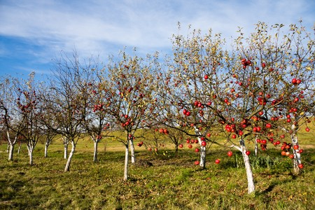 Red and ripe apples on the apple trees Stock Photo