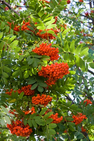 Bright rowan berries on a tree Stock Photo - 7884465
