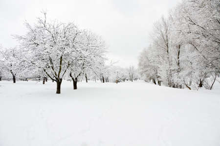 Rown of trees in orchard covered by snow in winter day