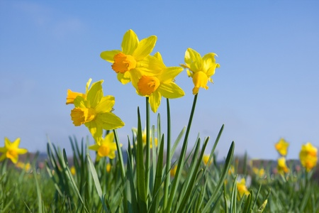 Many daffodil flowers on a meadow in springtime photo