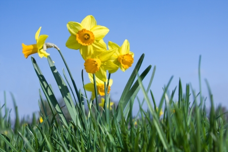 narcissus: Many daffodil flowers on a meadow in springtime Stock Photo