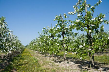 Blossoming apple orchard and path in springtime photo