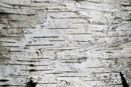 bark background: Birch bark texture background Stock Photo