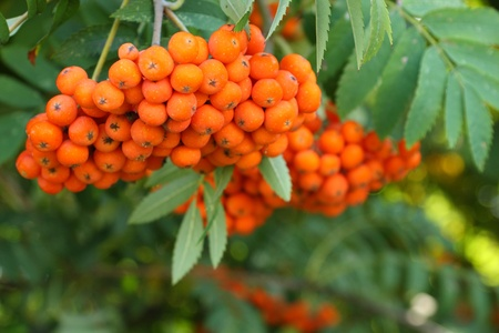 Close-up of rowan berries on a tree photo