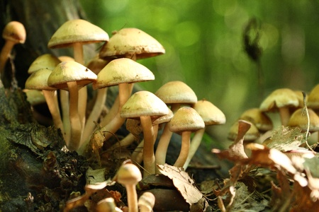 poisonous: Group of beautiful but poisonous mushroom in a forest