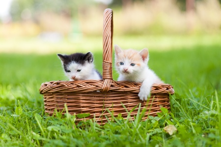 a pair of: Two little cats in wicker basket on green grass outdoors