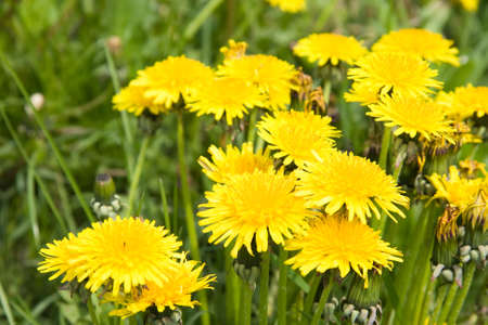 Lots of yellow dandelions on a field in spring  photo