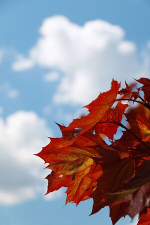 Red maple leaves over blue sky photo