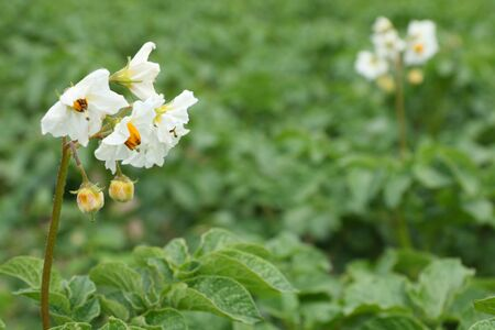 Potato flowers on a field photo