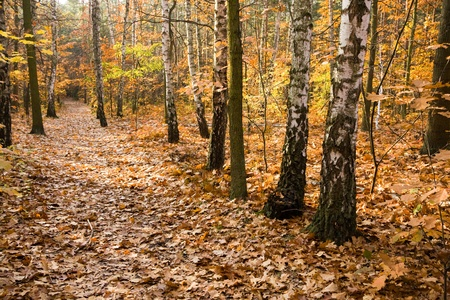 Lots of yellow leaves on a path in a forest. photo