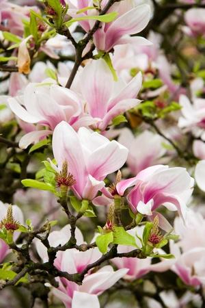 Pink magnolia flower on a tree  photo