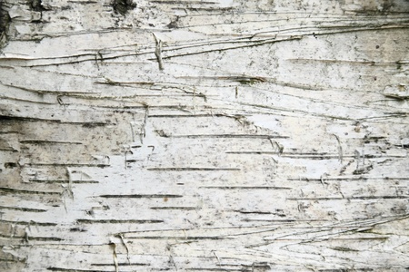 Birch bark background photo