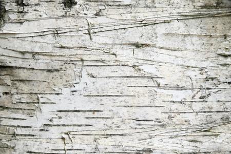 birch bark: Birch bark background