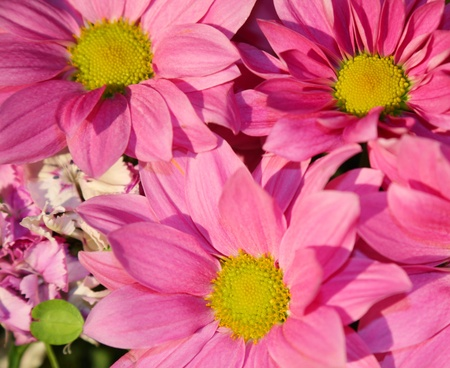 Pink daisies closeup  photo