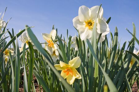 Daffodil flowers on a meadow in springtime  photo