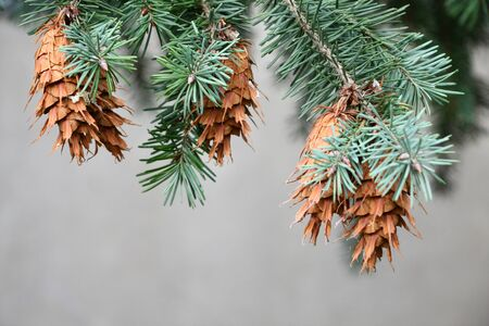 Spruce cones on a tree photo