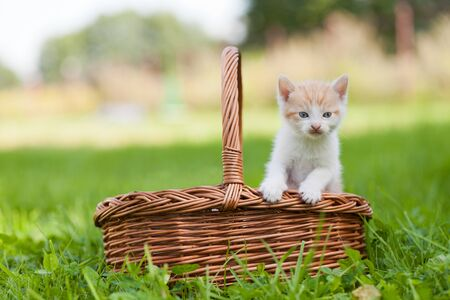 Two little cats in wicker basket on green grass outdoors photo