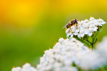 Bee collecting nectar from a flower in sunny spring day Stock Photo - 13409512