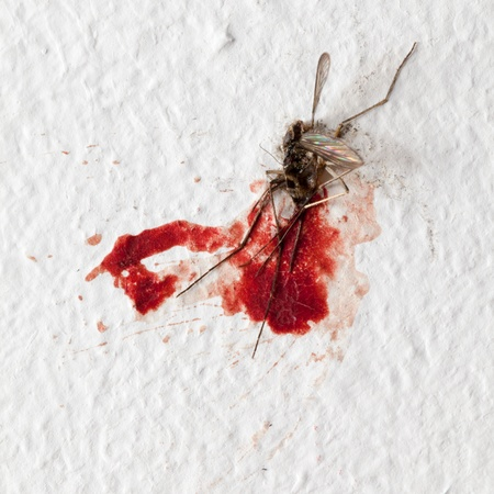 dead insect: Killed mosquito with lots of blood on a wall Stock Photo