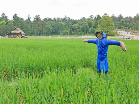 A scarecrow with blue rain coat on it, standing in the mid of a paddy field in Thailand