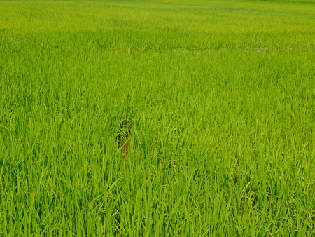 Selective focus of refreshing green paddy field, fresh rice tree leaves, under bright afternoon sunlight of a summer time in the North of Thailand Imagens