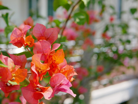 Selective focus of outdoor reddish orange Bougainvillea flowers planted outside to decorate a house
