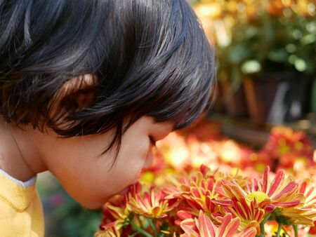 Selective focus of a little Asian baby girl smelling / kissing fresh yellow red chrysanthemum flowers