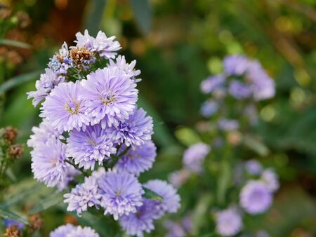 Selective focus of purple Asters (Aster tataricus) growing on the meadow