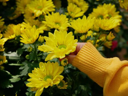 Selective focus of a little babys hand touching fresh yellow chrysanthemum flowers