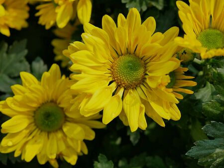 Selective focus of fresh yellow chrysanthemum flowers