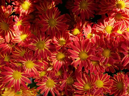 Selective focus of fresh yellow red chrysanthemum flowers in bright sunlight