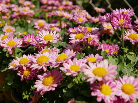 Selective focus of fresh pink  light purple chrysanthemum flowers in bright sunlight Stok Fotoğraf