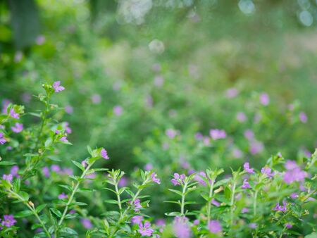 A small evergreen shrub background - Cuphea Hyssopifolia, the false heather, Mexican heather, Hawaiian heather, or elfin herb