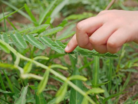 Little kid's hand touching leaves of sensitive plant ( Mimosa Pudica ) and making them fold up - connecting children with nature