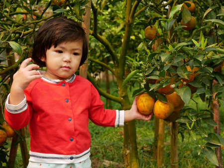 Little baby girl's hand holding / collecting / picking a big ripe orange on its branch in an orchard 免版税图像